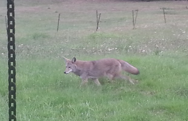 Our local coyote paid us a visit this morning